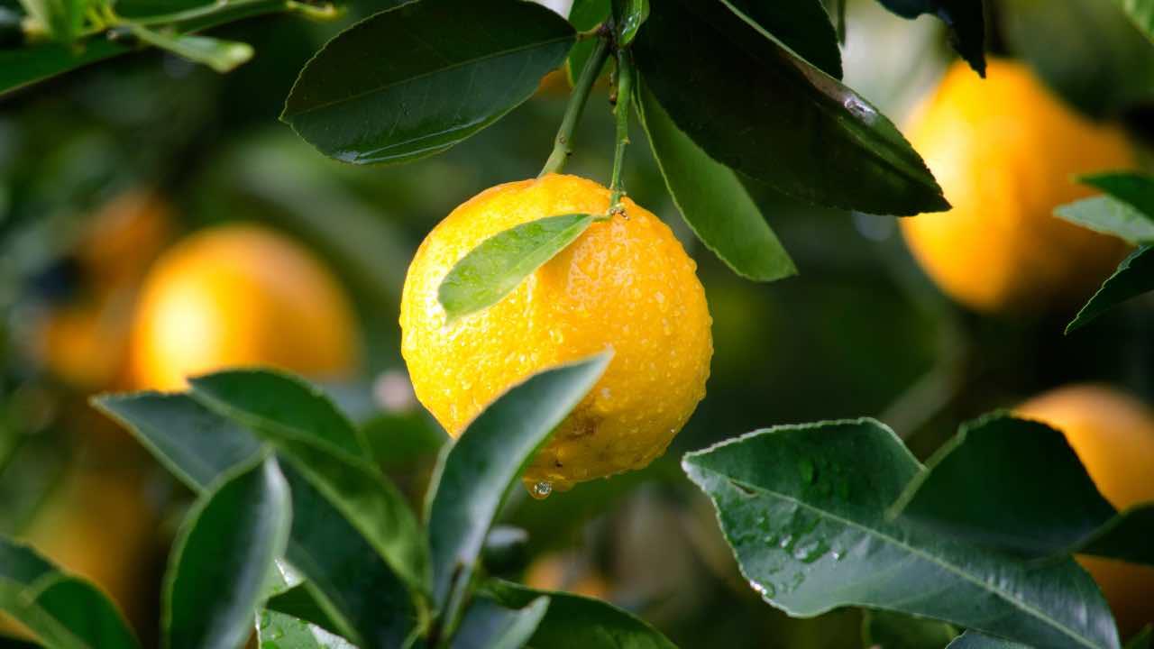 foglie di limoni
